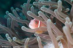 BD-160102-Kalanggaman-1965-Amphiprion-perideraion.-Bleeker.-1855-[Pink-anemonefish.-Vitpannad-clownfisk].jpg